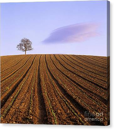 Remote Tree In A Ploughed Field Canvas Print by Bernard Jaubert