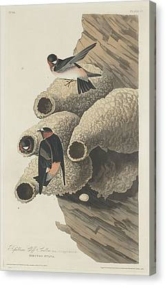 Republican Cliff Swallow Canvas Print by John James Audubon