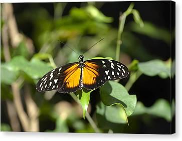 Resting Butterfly Canvas Print by Sven Brogren