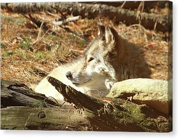 Resting Wolf Canvas Print by Karol Livote