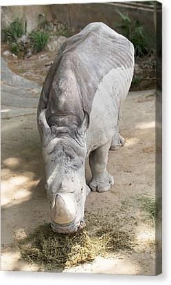 Rhino Eats Hay  Canvas Print by Vadim Goodwill