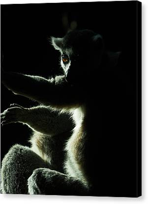 Ring Tailed Lemur Canvas Print by Steven Ralser