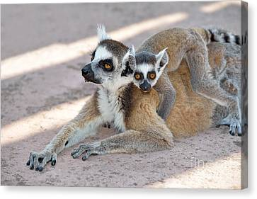 Ring Tailed Lemur With Baby Canvas Print by George Atsametakis