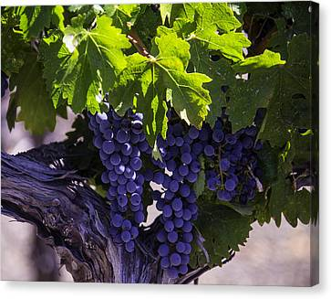 Ripe Grapes Canvas Print by Garry Gay