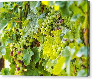 Ripening Grapes Canvas Print by Marianne Campolongo