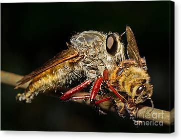 Robber Fly With Bee Canvas Print by B.G. Thomson