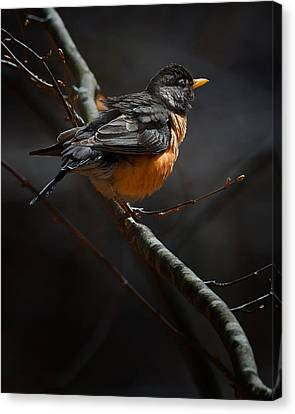 Robin In The Light Canvas Print by Bill Wakeley