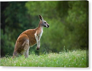 Roo Canvas Print by Ryan Heffron