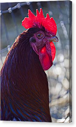 Rooster With Bright Red Comb Canvas Print by Garry Gay