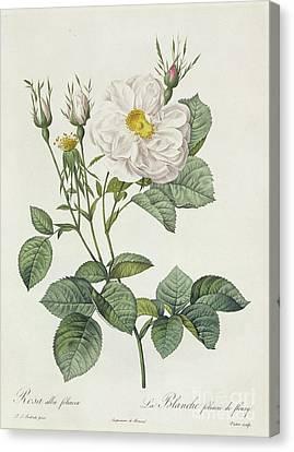 Rosa Alba Foliacea Canvas Print by Pierre Joseph Redoute