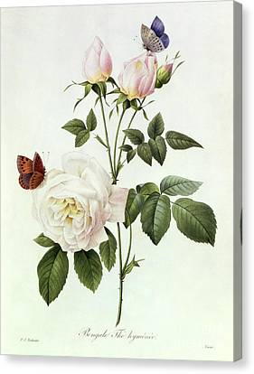 Rosa Bengale The Hymenes Canvas Print by Pierre Joseph Redoute