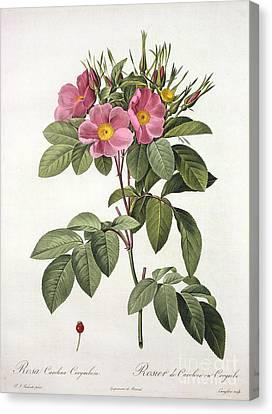 Rosa Carolina Corymbosa Canvas Print by Pierre Joseph Redoute