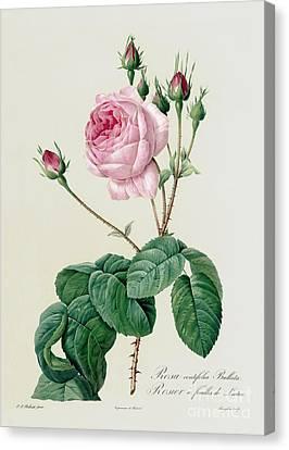Rosa Centifolia Bullata Canvas Print by Pierre Joseph Redoute