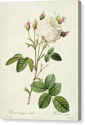 Rosa Centifolia Mutabilis Canvas Print by Pierre Joseph Redoute