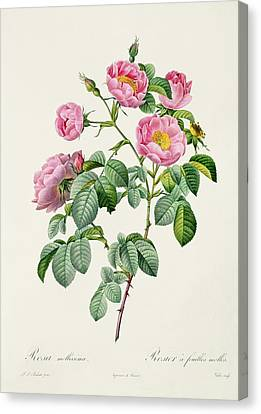 Rosa Mollissima Canvas Print by Claude Antoine Thory