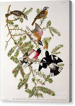 Rose Breasted Grosbeak Canvas Print by John James Audubon