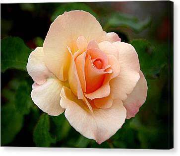 Rose Is A Rose Is A Rose Canvas Print by Christine Till