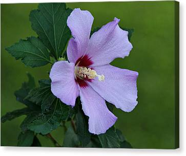 Rose Of Sharon Canvas Print by Sandy Keeton