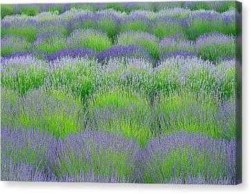 Rows Of Lavender Canvas Print by Hegde Photos