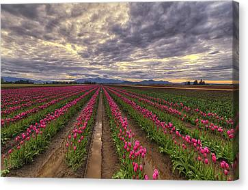 Rows Of Pink Impressions  Canvas Print by Mark Kiver