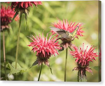 Ruby Throated Hummingbird 1-2015 Canvas Print by Thomas Young