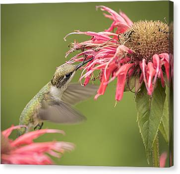 Ruby Throated Hummingbird 4-2015 Canvas Print by Thomas Young