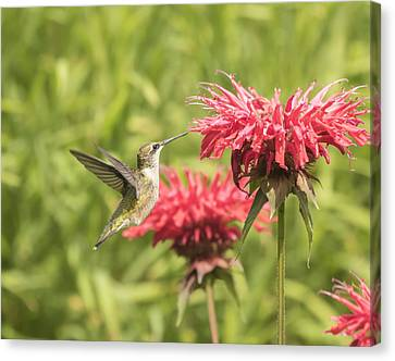 Ruby Throated Hummingbird Canvas Print by Thomas Young
