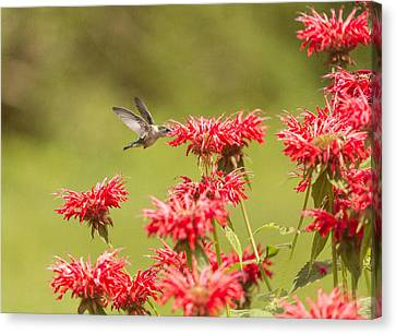 Rubythroated Hummingbird 2014-5 Canvas Print by Thomas Young