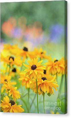 Rudbeckia Indian Summer Flowers Canvas Print by Tim Gainey