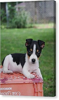 Rudy The Rat Terrier Canvas Print by Rebecca Poole