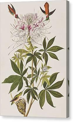 Ruff-necked Hummingbird Canvas Print by John James Audubon