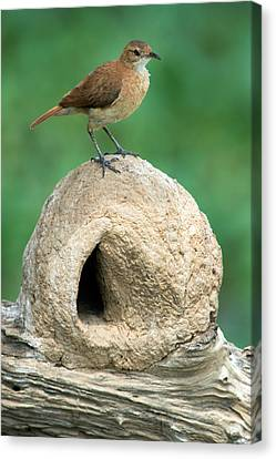 Rufous Hornero Furnarius Rufus On Nest Canvas Print by Panoramic Images