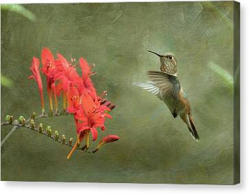 Rufous Hummingbird And Crocosmia Canvas Print by Angie Vogel