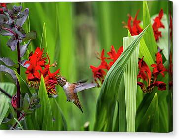 Rufous Hummingbird Feeding, No. 3 Canvas Print by Belinda Greb