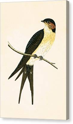 Rufous Swallow Canvas Print by English School