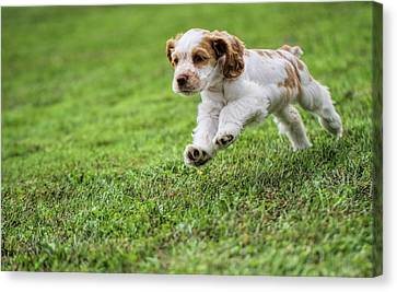Running Cocker Spaniel Puppy Canvas Print by Dan Sproul