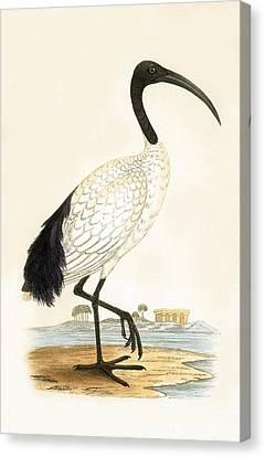 Sacred Ibis Canvas Print by English School
