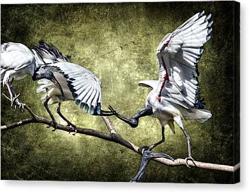 Sacred Ibis Photobombing D0164 Canvas Print by Wes and Dotty Weber