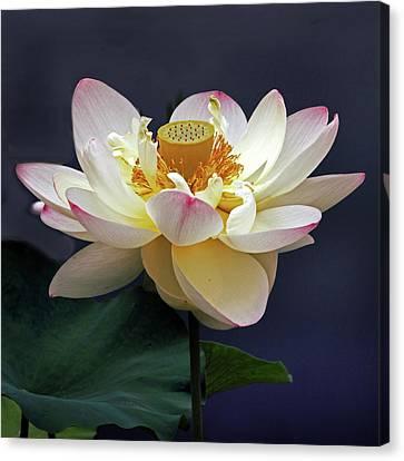 Sacred Lotus Canvas Print by Jessica Jenney