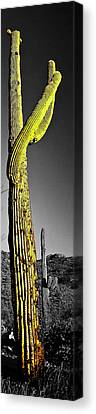 Saguaro Gestures Canvas Print by Jerry Kalman