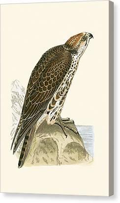 Saker Falcon Canvas Print by English School