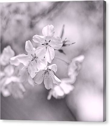 Sakura I Canvas Print by Jon Woodhams