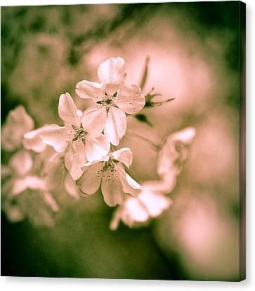 Sakura Iv Canvas Print by Jon Woodhams
