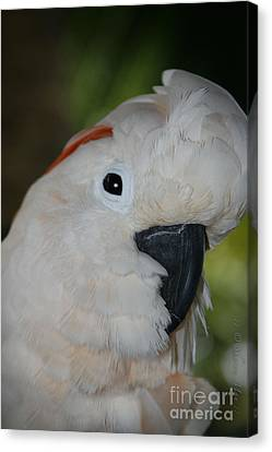Salmon Crested Cockatoo Canvas Print by Sharon Mau