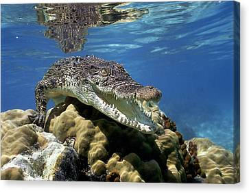 Saltwater Crocodile Smile Canvas Print by Mike Parry