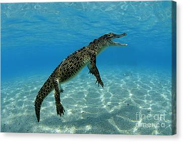 Saltwater Crocodile Canvas Print by Franco Banfi and Photo Researchers
