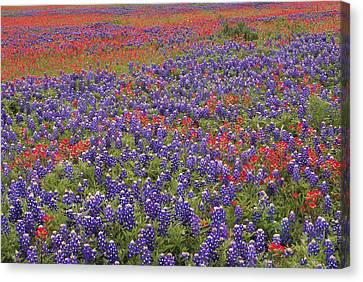 Sand Bluebonnet And Paintbrush Canvas Print by Tim Fitzharris