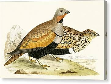 Sand Grouse Canvas Print by English School