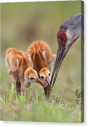Sandhill Crane With Chicks Canvas Print by Alfred Forns
