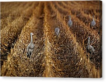 Sandhill Cranes - Cornfield Canvas Print by Nikolyn McDonald
